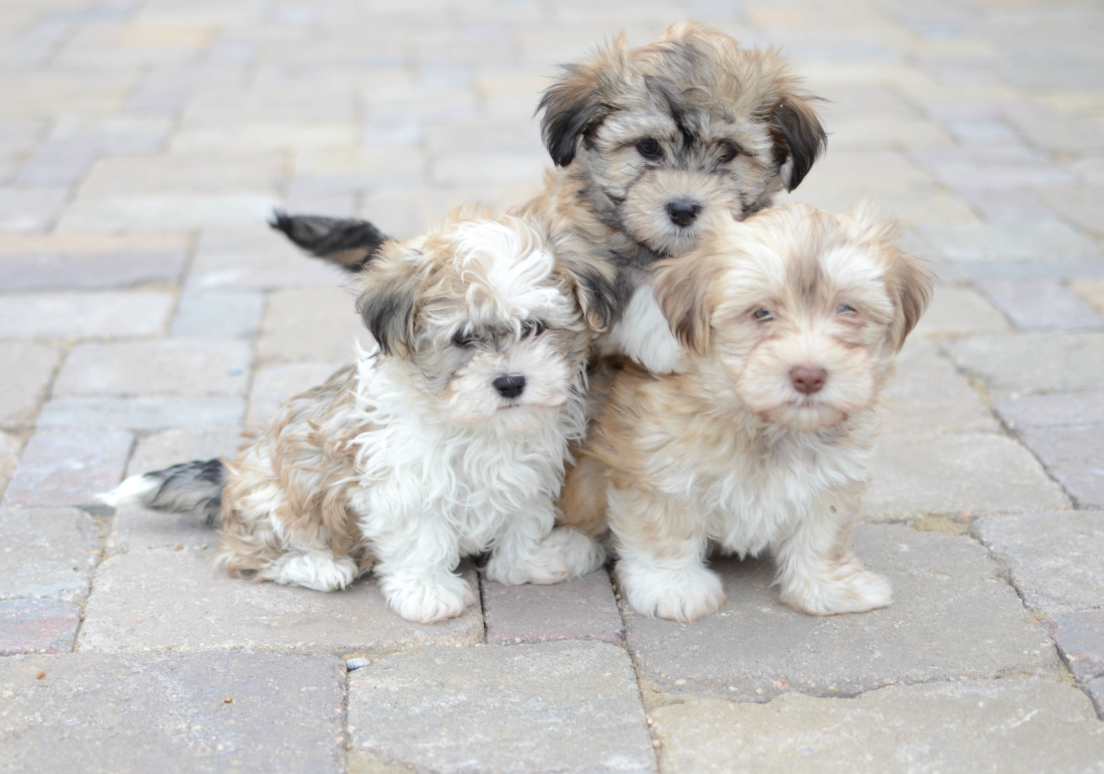 Havanese – Riverview Kennels
